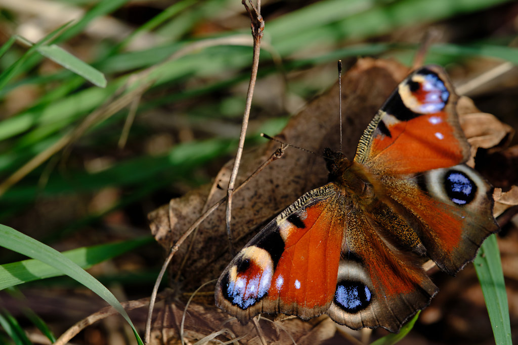 Colourful Peacock butterfly