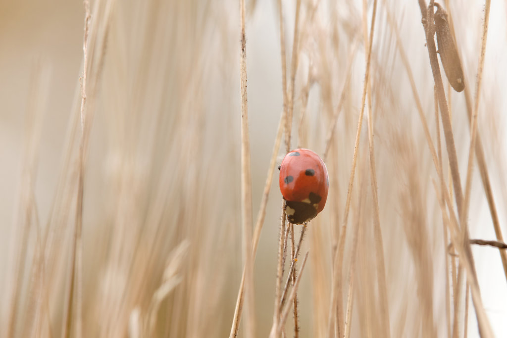 Ladybug In The Grass
